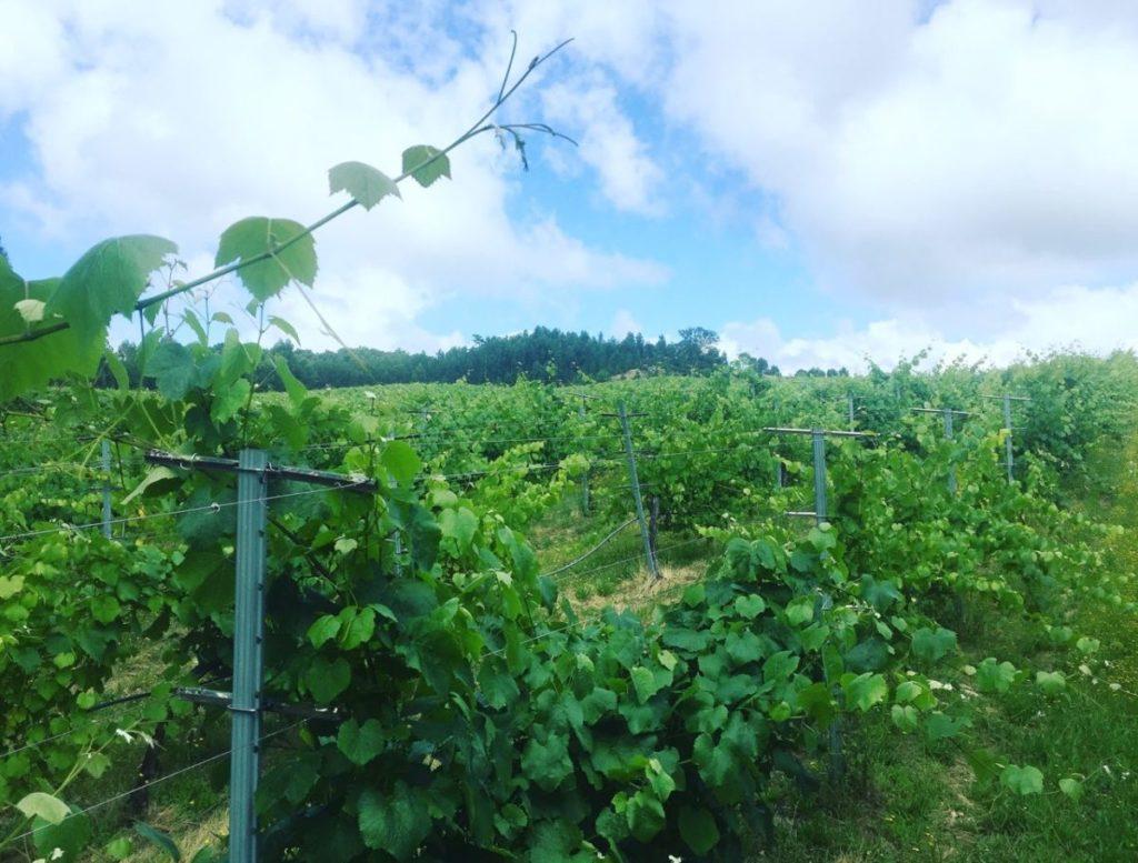 rías baixas curiosidades pantación de uvas del pazo de rubianes