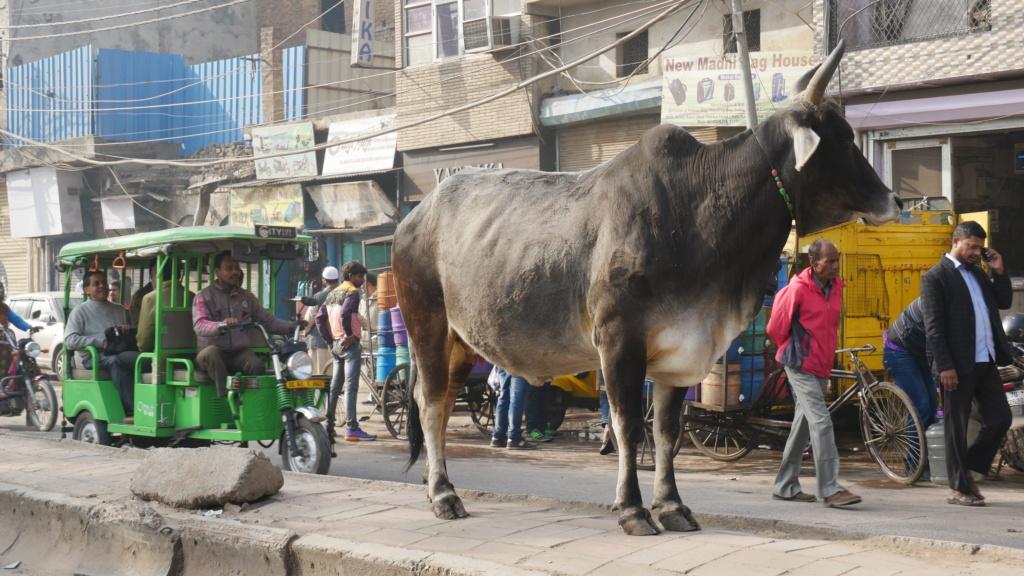 que ver en delhi, auto rickshaws en plena calle con una vaca en medio de la carretera